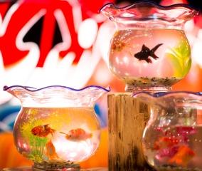 日本初!お部屋で楽しむ「貸し金魚」