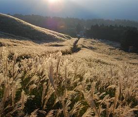 仙石原のススキ草原