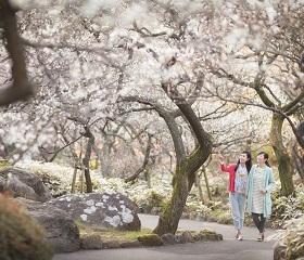 日本で最も早咲きの梅「梅まつり」