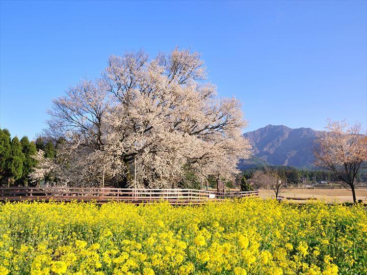 201341871565一心行の大桜(購入)_R720540
