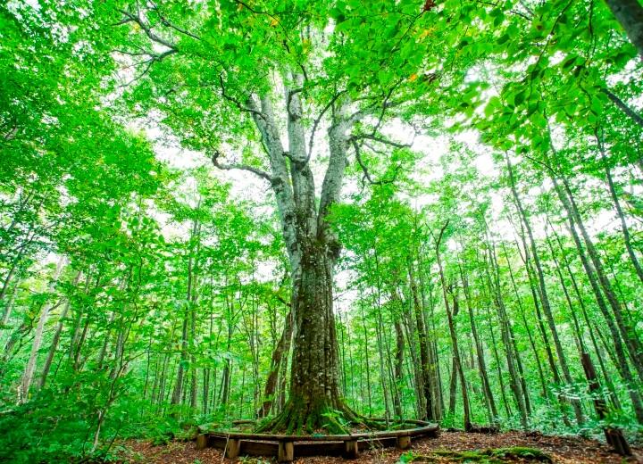 日本一のブナの巨木にご案内する「森の神ネイチャーツアー」
